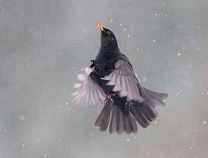 Blackbird (Turdus merula) male in flight during snowfall, Oisterwijk, The Netherlands. January - David  Pattyn