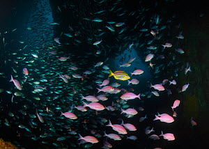 Mado (Atypichthys latus) the striped fish, surrounded by Pink Maomao (Caprodon longimanus) and Demoiselles (Chromis dispilus) in cave. Poor Knights Islands Marine Reserve, New Zealand, Pacific Ocean. - Brandon Cole