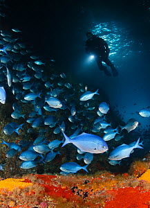 Scuba diver explores cave filled with Blue Maomao (Scorpis violaceus) fish and boulders covered with encrusting sponges (Cliona celata) Poor Knights Islands Marine Reserve, New Zealand, Pacific Ocean....  -  Brandon Cole