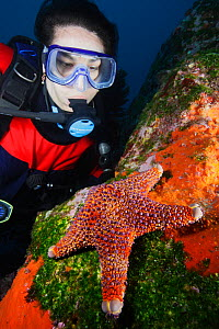 Woman Scuba diver looking at  Firebrick Sea Star (Asterodiscus truncatus) Poor Knights Islands Marine Reserve, New Zealand, Pacific Ocean. March 2009. Model released.  -  Brandon Cole