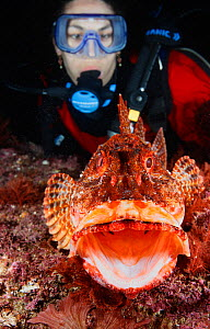 Northern Scorpionfish (Scorpaena cardinalis) yawning, woman scuba diver looks on. Poor Knights Islands Marine Reserve, New Zealand, Pacific Ocean. Model released.  -  Brandon Cole