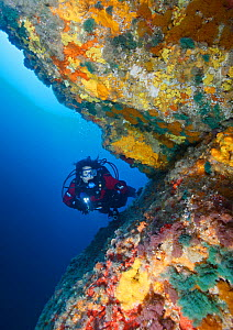 Scuba diver admires colorful invertebrates, including bryozoans (Bugula sp) and (Catenicellidae sp) and sponges growing on wall. Poor Knights Islands Marine Reserve, New Zealand, Pacific Ocean. March...  -  Brandon Cole