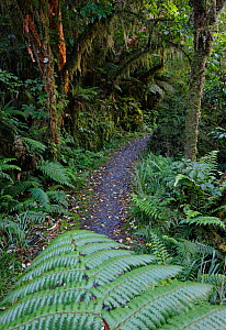 Lush foliage in the temperate rainforest along the world-famous Milford Track. Fiordland, South Island, New Zealand.  -  Brandon Cole