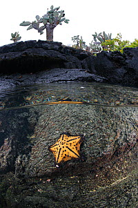 Split level view showing Chocolate Chip Sea Star (Nidorellia armata) below waterline, with lava coast, and cactus. Galapagos Islands, Ecuador, Pacific Ocean. - Brandon Cole