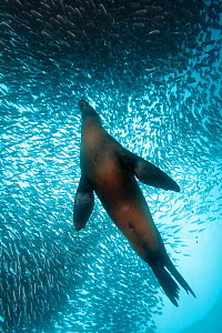 Galapagos Sea Lion (Zalophus wollebaeki) feeding on Black Striped Salemas (Xenocys jessiae) Galapagos Islands, Ecuador, Pacific Ocean.  -  Brandon Cole
