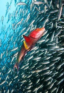 Mexican Hogfish (Bodianus diplotaenia) and schooling Black Striped Salema fish (Xenocys jessiae) Galapagos Islands, Ecuador, Pacific Ocean.  -  Brandon Cole