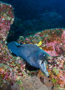 Fine Spotted Moray Eel (Gymnothorax dovii) Galapagos Islands, Ecuador, Pacific Ocean.  -  Brandon Cole