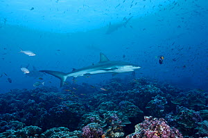 Galapagos Shark (Carcharhinus galapagensis) swimming through cleaning station, Galapagos Islands, Ecuador, Pacific Ocean.  -  Brandon Cole
