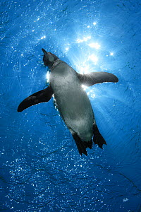 Galapagos Penguin (Spheniscus mendiculus) viewed from below with sun rays shining through the water, Galapagos Islands, Ecuador, Pacific Ocean. - Brandon Cole