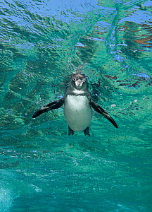 Galapagos Penguin (Spheniscus mendiculus) swimming near the surface. Galapagos Islands, Ecuador, Pacific Ocean. Cropped to vertical from native horizontal format. - Brandon Cole