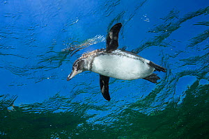 Galapagos Penguin (Spheniscus mendiculus) near surface, viewed from below, Galapagos Islands, Ecuador, Pacific Ocean. - Brandon Cole