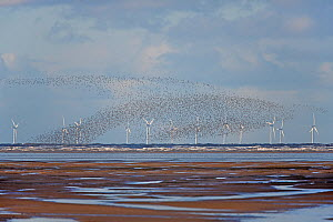 Knot (Calidris canutus) flocks in flight over Liverpool Bay with wind turbine in the background Liverpool Bay, UK, November  -  Alan Williams