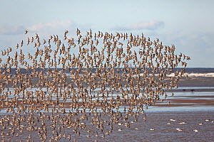 Knot (Calidris canutus) flocks in flight over Liverpool Bay, UK, November  -  Alan Williams
