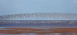 Knot (Calidris canutus) flock in flight over Liverpool Bay with wind turbines in the background, UK, November  -  Alan Williams
