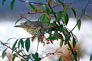 Mistle Thrush (Turdus viscivorus) taking berry from Cotoneaster bush in garden in the snow Cheshire, UK, January - Alan Williams