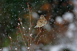 Mistle Thrush (Turdus viscivorus) perched in tree, in garden, in the snow Cheshire, UK, January - Alan Williams