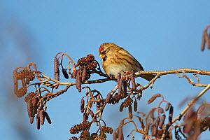 Female Lesser Redpoll (Carduelis flammea cabaret) on Alder (Alnus glutinosa) catkins in winter North Wales, UK, January  -  Alan Williams