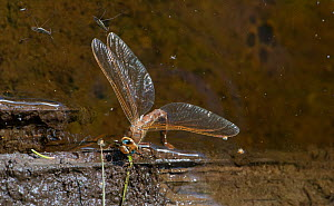Brown hawker dragonfly (Aeshna grandis) female laying eggs into water, with two River skaters  (Gerris najas) on surface, Finland, August  -  Jussi Murtosaari