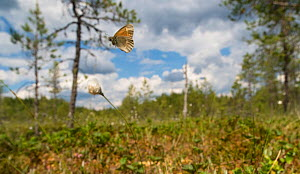 Common Ringlet (Coenonympha tullia) in flight, Finland, June - Jussi Murtosaari