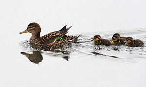 Common Teal (Anas crecca) female with ducklings, Finland June - Jussi Murtosaari,Jussi  Murtosaari