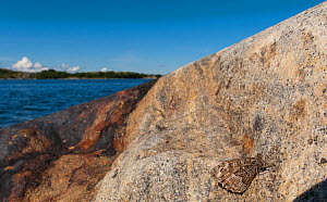 Grayling (Hipparchia semele) typical resting place on rock near by the sea, Finland, August  -  Jussi Murtosaari