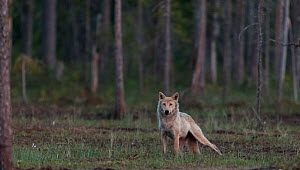 Grey wolf (Canis lupus) in forest at night, Finland, July - Jussi  Murtosaari
