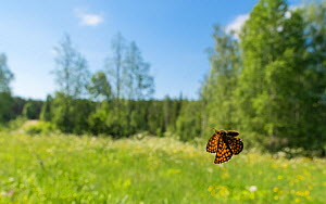Heath Fritillary (Melitaea athalia) in flight, Finland June - Jussi  Murtosaari