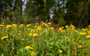 Map butterfly (Araschnia levana) in flight over flowers,  Finland, May - Jussi Murtosaari