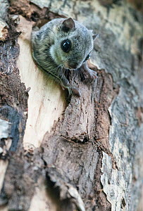 Siberian flying squirrel (Pteromys volans) emerging from hole in tree, Finland, May - Jussi  Murtosaari