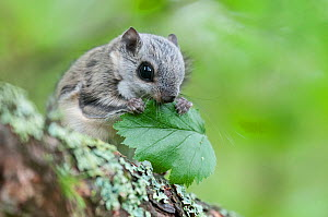 Siberian flying squirrel (Pteromys volans) eating leaves, Finland, May - Jussi Murtosaari
