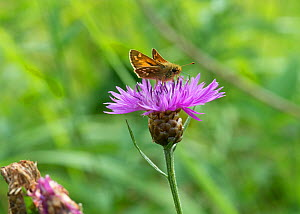 Silver-spotted Skipper (Hesperia comma) male butterfly feeding on thistle flower, Finland, July - Jussi Murtosaari