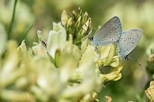Small Blue Butterfly (Cupido minimus) mating, and an ant, Finland, May  -  Jussi Murtosaari