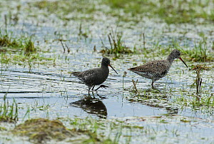 Spotted Redshank (Tringa erythropus) male and female, Finland, May - Jussi Murtosaari