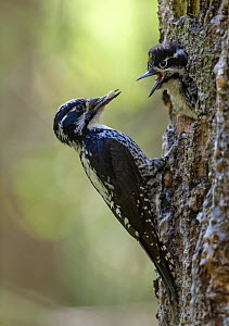 Three-toed Woodpecker (Picoides tridactylus) male feeding chick, Finland, June - Jussi Murtosaari