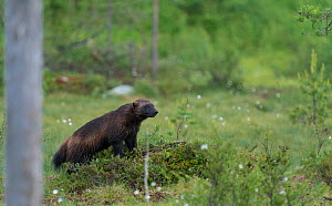 Wolverine (Gulo gulo) looking around from a tussock of heather, Finland, June - Jussi Murtosaari