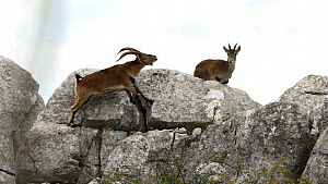 Male Spanish ibex (Capra pyrenaica) displaying to female on mountain side, Torcal de Antequera Nature Reserve, Malaga, Spain, October. - Ramon  Navarro