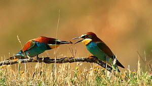 Male European bee eater (Merops apiaster) offering insect to female as part of a courtship display, before mating, Seville, Spain, May.  -  Ramon  Navarro