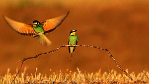 European bee eaters (Merops apiaster) perched and alighting on a branch in a meadow, Seville, Spain, May.  -  Ramon  Navarro