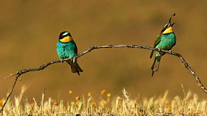 European bee eaters (Merops apiaster) perched and alighting on a branch in a meadow, eating insect prey, Seville, Spain, May.  -  Ramon  Navarro
