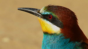 Close-up of a European bee-eater (Merops apiaster) looking around, Seville, Spain, May.  -  Ramon  Navarro