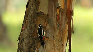 Female Great spotted woodpecker (Dendrocopos major) hunting insects on tree, Seville, Spain, May.  -  Ramon  Navarro
