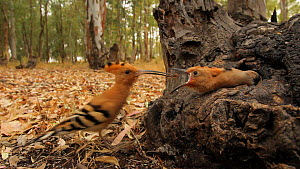 Adult Hoopoe (Upupa epops) feeding insect prey to chick at nest hole, Seville, Spain, May.  -  Ramon  Navarro