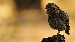 Little owl (Athene noctua) vocalising and scratching, Seville, Spain, July. - Ramon  Navarro