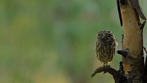 Little owl (Athene noctua) perched on a tree branch looking around, showing neck rotation, attacked by a Golden Oriole (Oriolus oriolus), Seville, Spain, July. - Ramon  Navarro