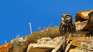 Little owl (Athene noctua) perched on roof, vocalising, before taking off, Seville, Spain, July.  -  Ramon  Navarro