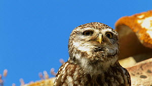 Close-up of Little owl (Athene noctua) perched on roof, vocalising, Seville, Spain, July. - Ramon  Navarro