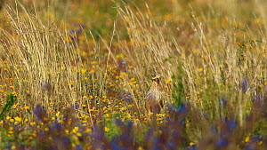 Stone curlew (Burhinus oedicnemus) walking through rass, with stems moving in the wind, Seville, Spain, June.  -  Ramon  Navarro