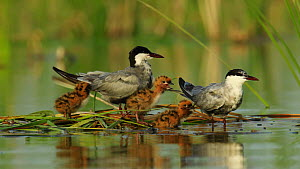 Pair of Whiskered terns (Chlydonias hybrida) at nest with chicks, with one chick eating a frog, Donana National Park, Seville, Spain, August.  -  Ramon  Navarro