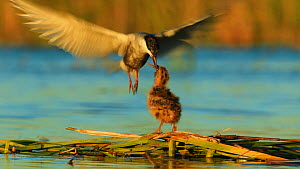 Whiskered tern (Chlydonias hybrida) passing insect prey to a chick at nest, Donana National Park, Seville, Spain, August.  -  Ramon  Navarro