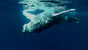 Humpback whale (Megaptera novaeangliae) calf playing underwater, Tonga - Brandon Cole